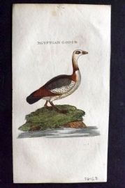 Brightly (Pub) 1815 Hand Col Bird Print. Egyptian Goose